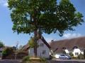 Jubilee Oak