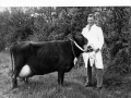 Tom Vallis and prize Jersey cow undated