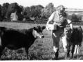 Margaret Vallis with two calves on Abbotts Hill c1960