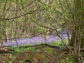 Walking around Micheldever in April, Bluebell time