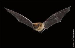 bat small